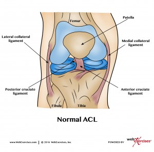 Knee Normal ACL